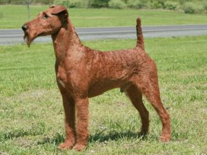 irish-terrier-akmerkez-petworld