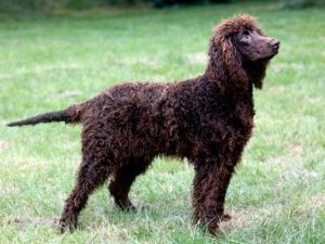 irish-water-spaniel-akmerkez-petworld