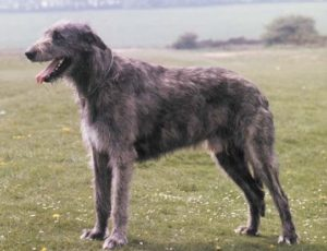 irish-wolfhound-akmerkez-petworld