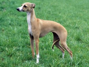 italian-greyhound-akmerkez-petworld