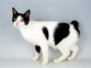 japanese-bobtail-cat-akmerkez-petworld