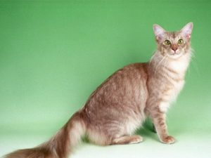 javanese-cat-akmerkez-petworld