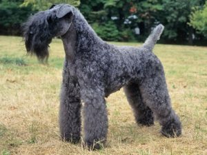 kerry-blue-terrier-akmerkez-petworld