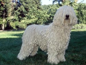komondor-akmerkez-petworld
