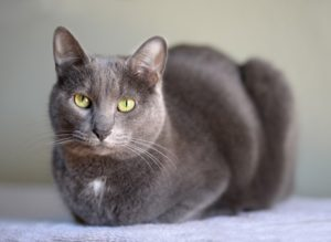 Domestic Korat cat resting looking into the camera