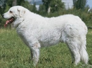 kuvasz-akmerkez-petworld