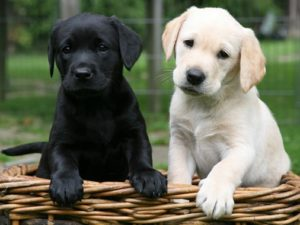 labrador-retriever-akmerkez-petworld