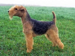 lakeland-terrier-akmerkez-petworld