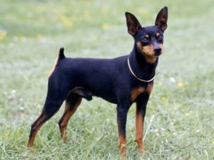 miniature-pinscher-akmerkez-petworld