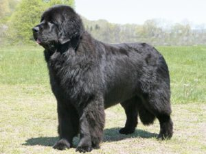 newfoundland-dog-akmerkez-petworld