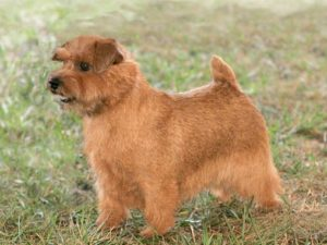 norfolk-terrier-akmerkez-petworld