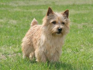 norwich-terrier-akmerkez-petworld