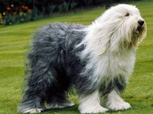 old-english-sheepdog-akmerkez-petworld