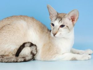 oriental-shorthair-cat