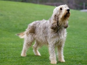 otterhound-akmerkez-petworld