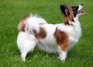 papillon-dog-akmerkez-petworld