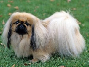 pekingese-akmerkez-petworld