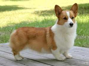 pembroke-welsh-corgi-akmerkez-petworld