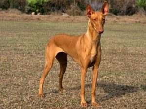pharaoh-hound-akmerkez-petworld