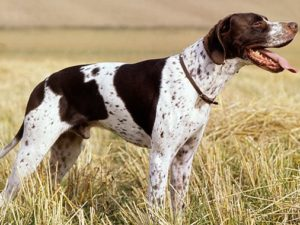 pointer-dog-akmerkez-petworld