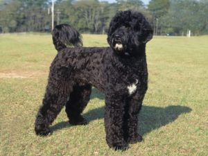portuguese-water-dog-akmerkez-petworld