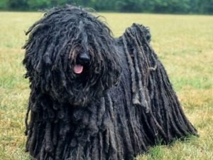 puli-dog-akmerkez-petworld