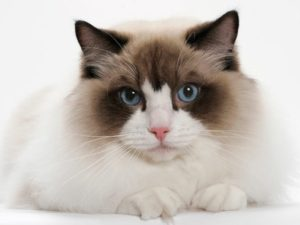 ragdoll-cat-akmerkez-petworld
