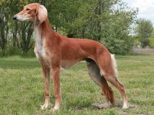 saluki-dog-akmerkez-petworld
