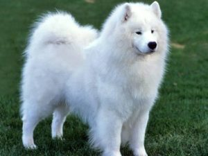 samoyed-dog-akmerkez-petworld