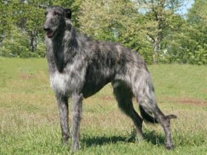 scottish-deerhound-akmerkez-petworld-satis