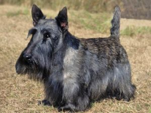 scottish-terrier-akmerkez-petworld