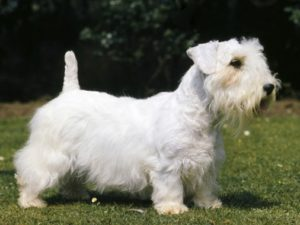 sealyham-terrier-akmerkez-petworld-satis