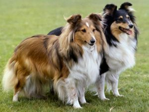 shetland-sheepdog-akmerkez-petworld-satis