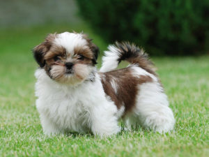 shih-tzu-sitsu-akmerkez-petworld-satis