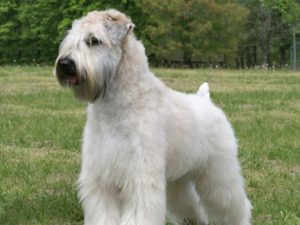 soft-coated-wheaten-terrier-akmerkez-petworld