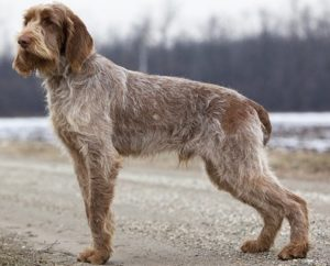 spinone-italiano-akmerkez-petworld