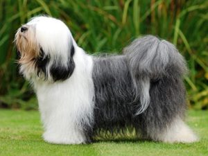 tibetan-terrier-akmerkez-petworld