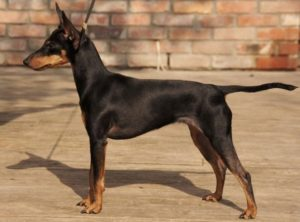 toy-manchester-terrier-akmerkez-petworld