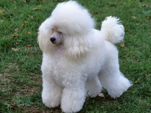 toy-poodle-akmerkez-petworld