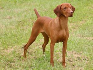 vizsla-dog-akmerkez-petworld