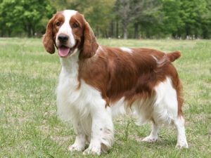 welsh-springer-spaniel-akmerkez-petworld