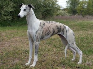 whippet-akmerkez-petworld