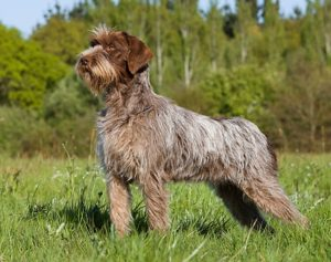 wirehaired-pointing-griffon-akmerkez-petworld