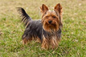 yorkshire-terrier-akmerkez-petworld