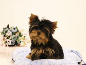 yorkshireterrier-tyson-akmerkez-petworld