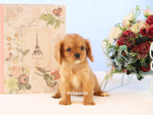 ruby-cavalier-cathy-akmerkez-petworld