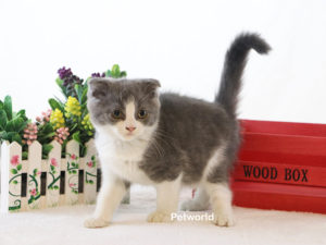 scottish-fold-scooby-akmerkez-petworld