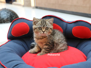 british-shorthair-akmerkez-petworld-1