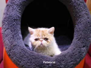 exotic-shorthair-eddie-akmerkez-petworld-2