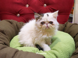 exotic-shorthair-edward-akmerkez-petworld-2